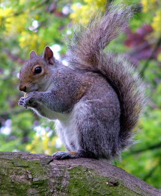 Fried Squirrel